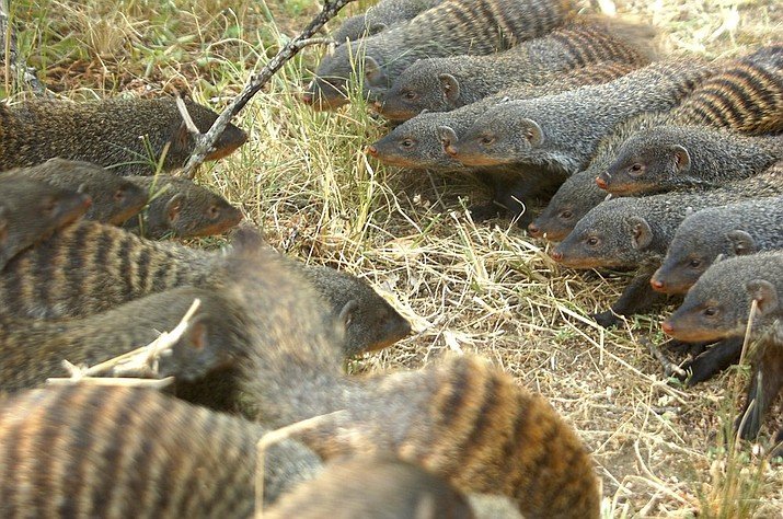 In this file photo provided by the Banded Mongoose Research Project in November 2020, banded mongooses form battle lines in Queen Elizabeth National Park, Uganda. When families of banded mongooses prepare to fight, they form battle lines. Each clan of about 20 animals stands nose to nose, their ears flattened back, as they stare down the enemy. A scrubby savannah separates them, until the first animals run forward. (Harry Marshall/Banded Mongoose Research Project via AP)
