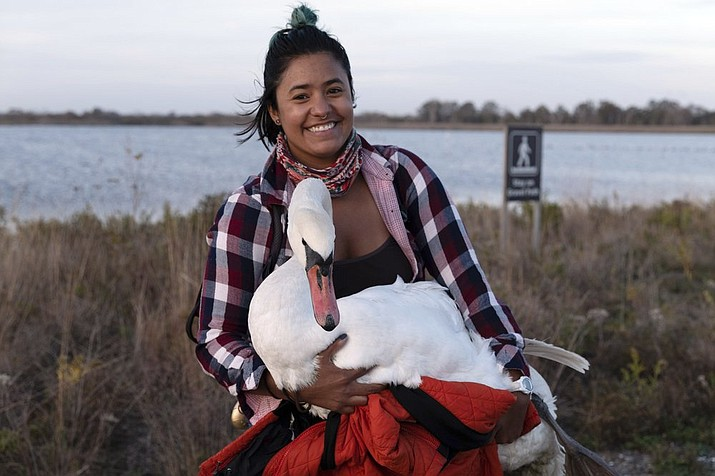 This Nov. 5, 2020 photo provided by Josh Spector shows Ariel Cordova-Rojas with Bae, a female mute swan, as the swan is rescued in the Jamaica Bay Wildlife Refuge, in the Queens borough of New York. Cordova-Rojas was assisted by a couple with a car who agreed to drive the swan and Cordova-Rojas to a nearby subway station. Later an employee of the Wild Bird Fund met them at another subway station for transport to the organization's clinic on New York's Upper West Side. (Josh Spector via AP)