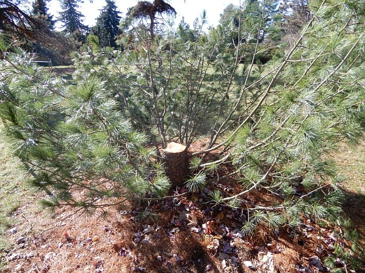 The stolen 25-foot tree was about 30 yards from a street that runs through the arboretum, which is a popular spot for walkers, joggers, bicyclists and nature lovers. (Crimestoppers)