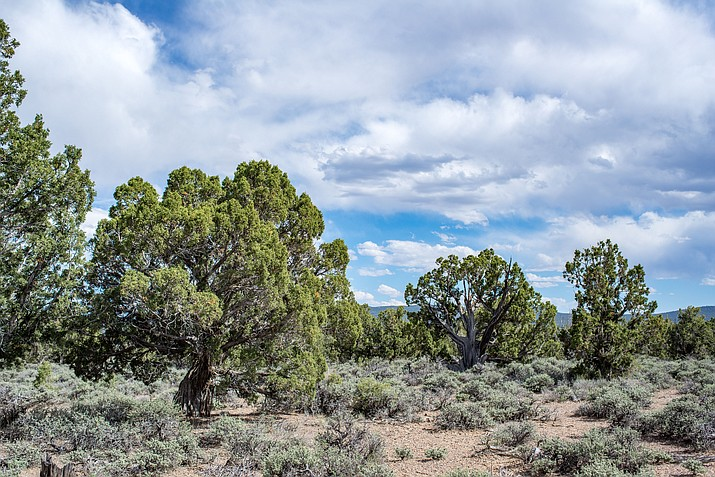Old growth pinyon juniper woodland vegetation mixes with low growing black sagebrush in Arizona. (Photo/Adobe Stock)