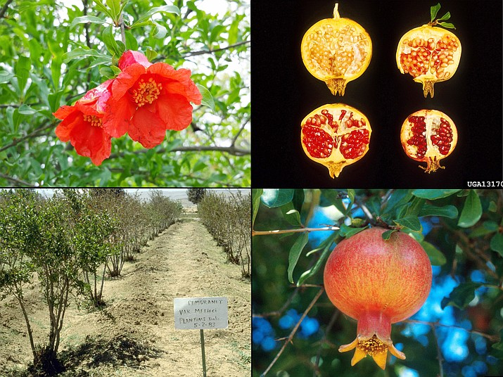 Pomegranates are attractive from flower to ripe fruit. A pomegranate orchard under irrigation in Yemen (lower left, William M. Brown Jr., Bugwood.org). Pomegranate flower (upper left, Rebekah D. Wallace, University of Georgia, Bugwood.org). The color of pomegranate arils (seeds) in ripe fruit can vary from pale pink to deep red (upper right, USDA ARS Photo Unit, USDA Agricultural Research Service, Bugwood.org). Ripe pomegranate fruit (lower right, USDA ARS Photo Unit, USDA Agricultural Research Service, Bugwood.org).