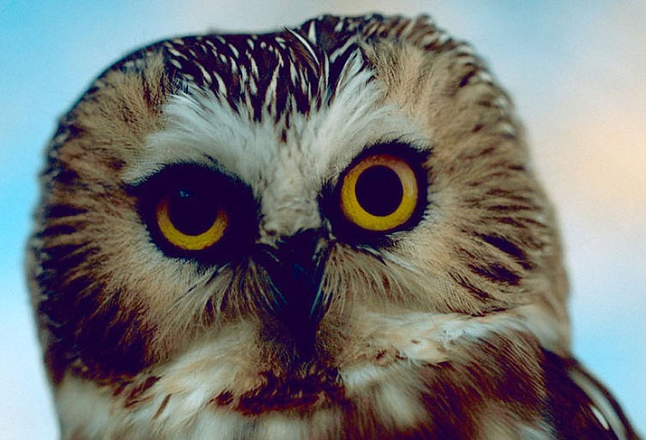 """A northern Saw-whet owl was discovered by workers in the giant Christmas tree put up in Rockefeller Center in New York City, and will soon be returned to the wild. The owl, which had been in the tree since it was felled, has been named """"Rockefeller."""" (U.S. Fish and Wildlife Service photo/Public domain)"""