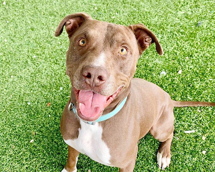 If you would like to meet Alvis, contact the Chino Valley Animal Shelter to schedule an appointment, 928-636-4223, ext. 7. (Chino Valley Animal Shelter)