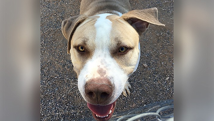 Astro, a 1-year-old mix, is currently the longest residing resident at the Mohave County Animal Shelter having been there since August. He will be available for adoption at Saturday's event, and would like to have a home for the holidays. (Photo courtesy of Friends)