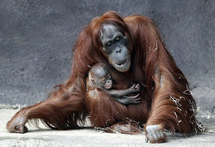 Kawi, a newly born baby of critically endangered Sumatran orangutan, holds on to his mother Mawar at their enclosure at the zoo in Prague, Czech Republic, Tuesday, Dec. 15, 2020. Kawi was born on Nov. 17. 2020. (AP Photo/Petr David Josek)