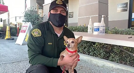 A Chihuahua dog named Sweet-Pea who went missing five years ago in Southern California has been found and is back home. Courtesy photo