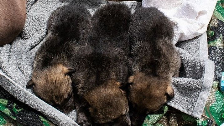 Cross-fostered Mexican wolf pups. (Arizona Game and Fish)