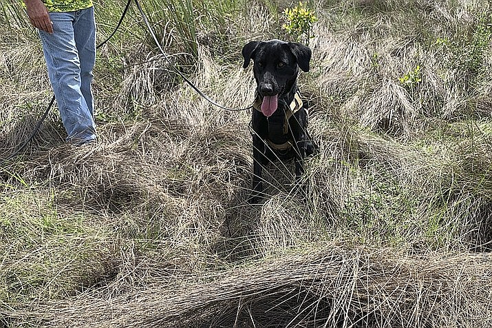 Truman sits near an area where he tracked down an 8-foot-python, Tuesday, Dec. 8, 2020, in Miami-Dade County, Fla. The Florida Fish and Wildlife Conservation is beginning a new program to use dogs to sniff out invasive pythons. (Florida Fish and Wildlife Conservation Commission via AP)