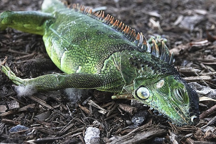 In this Jan. 22, 2020, file photo, a stunned iguana lies in the grass at Cherry Creek Park in Oakland Park, Fla., With unexpectedly cold weather in the forecast and pandemic-related curfews in some places, Florida was set to have a Christmas unlike any other in recent memory, and it might involve falling iguanas. (Joe Cavaretta/South Florida Sun-Sentinel via AP)