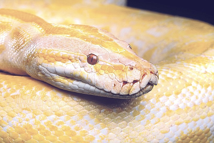 According to police in Peabody, Massachusetts, a couple entered a Petco store last week and stole an albino python snake worth $300. (Stock photo)