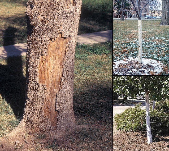 Sunscald commonly damages thin-barked trees in Arizona. This environmental stress kills the living tissue within and under the bark resulting in dead areas on the south or west side of the tree's trunk, above left. Trees can be protected by wrapping, upper right, or painting the trunk with whitewash or white tree trunk paint, lower right. (Gerald Holmes, Strawberry Center, Cal Poly San Luis Obispo, Bugwood.org, left, and Utah State University Extension, upper and lower right/Courtesy)
