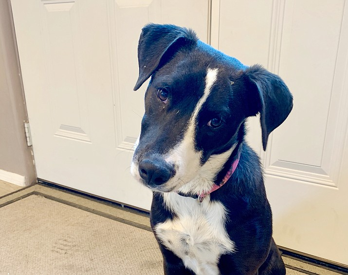 Margo is still very much a puppy but she is super sweet, appears to be house trained, good with other dogs and loves people of all ages. (Chino Valley Animal Shelter)