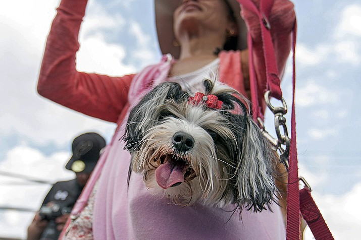 This April 29, 2017 file photo shows Aja, a Biewer Terrier, watching the DockDogs competition, from a jacket pocket of her owner Charli Yarbrough, during the annual Pet Lovers' Extravaganza in Virginia Beach, Va. The American Kennel Club announced Monday, Jan. 4, 2021, that the Biewer Terrier has received full recognition, and is eligible to compete in the Toy Group, bringing the number of AKC-recognized breeds to 197. (Bill Tiernan/The Virginian-Pilot via AP, File)