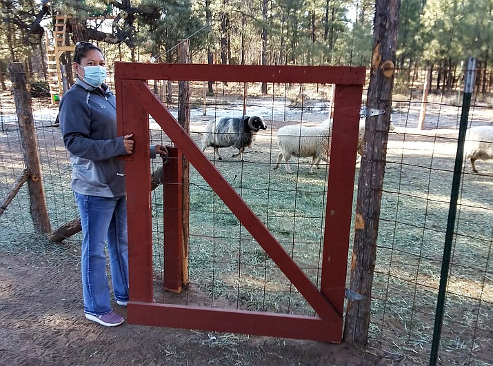 Arvena Peshlakai opening the gate to her sheep corral at her home in Crystal, New Mexico. She and her husband Melvin volunteered to participate in coronavirus vaccine trials on the Navajo Nation. As coronavirus vaccines were being developed around the world, few Native American tribes signed up to participate. The reasons range from unethical practices of the past to the quick nature of the studies amid the pandemic. Native researchers say without participation from tribal communities, tribes won't know which vaccine might best be suited for their citizens. (Courtesy Arvena Peshlakai via AP)