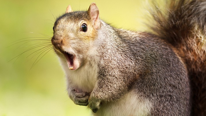 Denizens of the New York City borough's Rego Park neighborhood say an aggressive squirrel has jumped on them and bitten them in the past several weeks. (Courier stock photo)