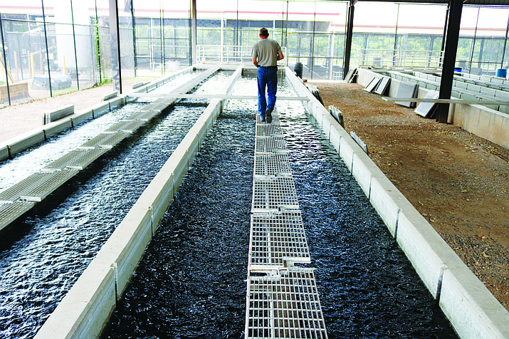 The Page Springs Fish Hatchery produces 680,000 trout each year. Page Springs Hatchery is Arizona's largest state-run hatchery. VVN file photo