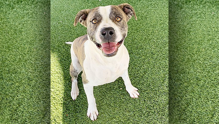 If you would like to meet Sherlock, please call the shelter at 928-636-4223 ext. 7 to set up an appointment.