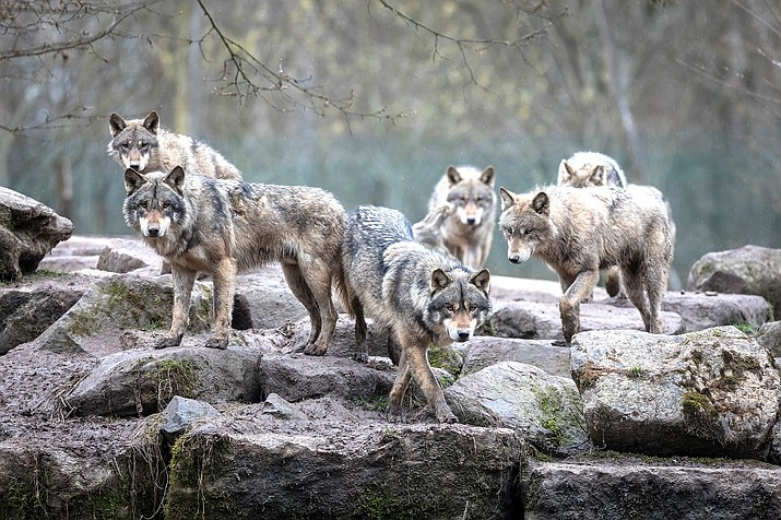 Gray wolves were delisted from Endangered Species protection in October 2020. Environmental groups have sued to restore their status. (Photo Adobe, ABPhotography)