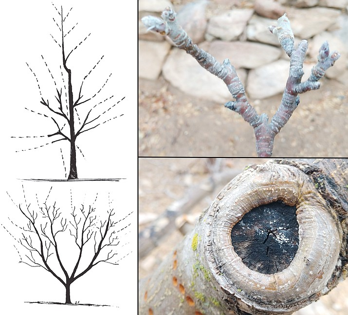 "Deciduous fruit tree pruning is an important practice to maintain tree health and productivity. Larger growers prune their apple and pear trees to a ""modified central leader"" (upper left). Backyard growers prune all deciduous fruit trees to and ""open center"" or ""vase shape"" (lower left). Apple trees often bear fruit on shortened stems called ""spurs"" (upper right). Pruning wounds develop callus tissue eventually covering the wound (lower right). Pruning sealers interfere with this process and should be avoided. (Jeff Schalau, University of Arizona/Courtesy)"