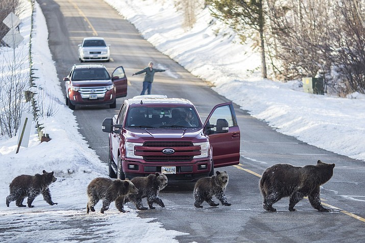 Grizzly bear No. 399 and her four cubs cross a road as Cindy Campbell stops traffic in Jackson Hole, Wyoming Nov. 17, 2020. Many watched the bear and her cubs as they denned for the winter. (Ryan Dorgan/Jackson Hole News & Guide via AP)