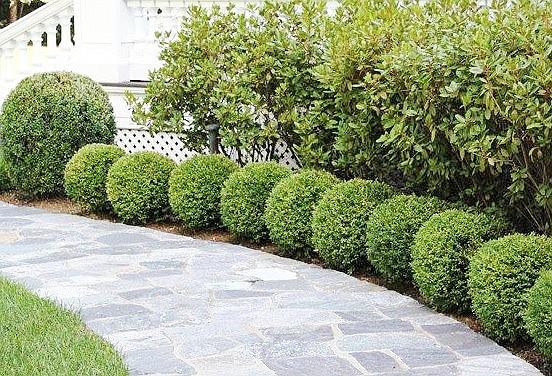 Boxwood hedge.(Ken Lain/Courtesy)
