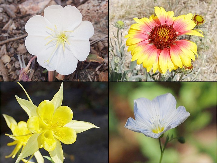 Wildflowers add color and interest to your landscape and require little supplemental irrigation once established. Golden columbine (Aquilegia chrysantha, lower left), tufted evening primrose (Oenothera caespitosa, upper left), blanket flower (Gaillardia pulchella, upper right), and blue flax (Linum lewisii, lower right) are all suitable wildflowers for your wildflower meadow. (Sue Smith, Yavapai County Master Gardener/Courtesy)
