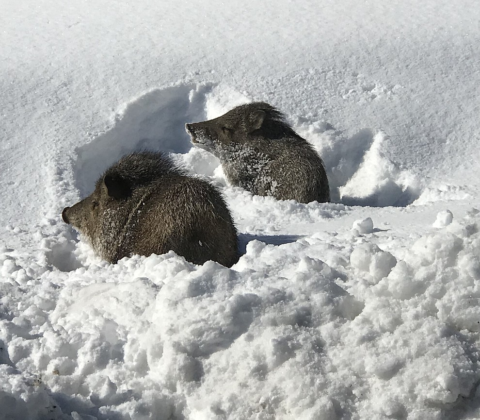Javelina romping in the snow in Williamson Valley. Photo submitted by Vicky McMaster.
