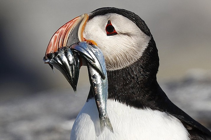In this July 19, 2019 file photo, an Atlantic puffin carries bait fish it will feed its chick on Eastern Egg Rock, a small island off the coast of Maine. New protections to the herring population, a key food source for puffins, could help the birds survive. (AP Photo/Robert F. Bukaty, files)