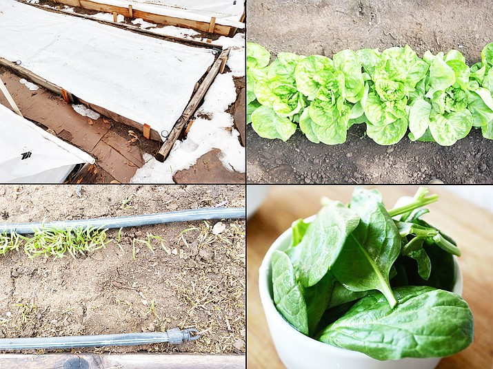 Spinach is great cooked or in salads and it is easy to grow in the cool season. My spinach was direct seeded on Nov. 22, 2020, and is growing under row cover (upper left) that received 30 inches of snow on Jan. 26, 2021. After digging it out, the thinned and unthinned plants are shown side-by-side (lower left). In a month, I hope it looks like the photo on the upper right. Spinach can be eaten fresh in salads, steamed, or mixed into soups and omelets. (Left photos by Jeff Schalau, University of Arizona. Photos on right were provided Iowa State University Extension (upper) and University of Missouri Extension (lower))