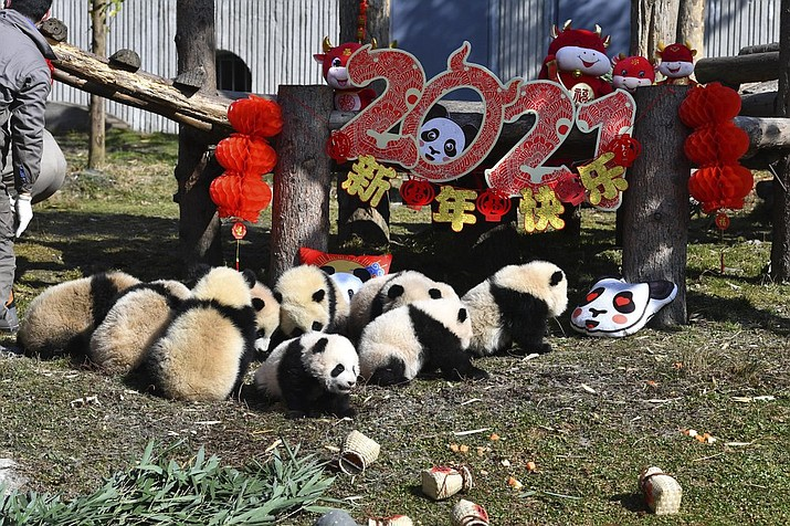 Baby pandas sit near a display for the upcoming Lunar New Year of the Ox at the China Conservation and Research Center for the Giant Panda at the Wolong Nature Reserve in southwestern China's Sichuan province, Wednesday, Feb. 3, 2021. Ten baby pandas made their debut in China's leading panda reserve in the country's southwest on Wednesday morning ahead of the Lunar New Year. (Chinatopix via AP)