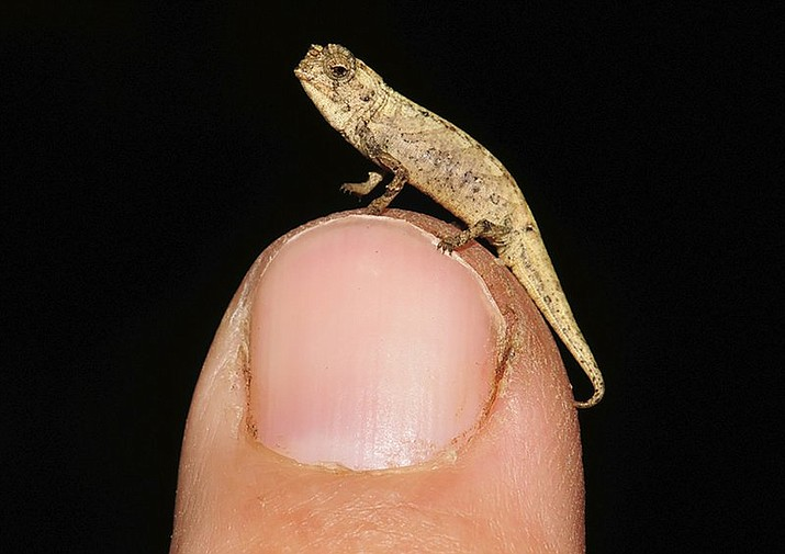 Picture taken in Munich, Germany shows a newly discovered species of chameleon which is a contender for the title of world's smallest reptile. Scientists from Madagascar and Germany called it Brookesia nana, said the male appeared is just 13.5 millimeters big. (AP Poto/Frank Glaw)