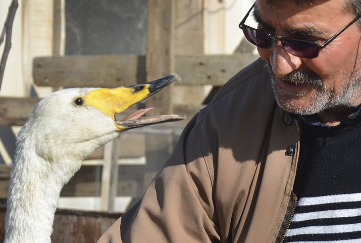 Recep Mirzan, a 63-year-old retired postman talks to Garip, a female swan that he rescued 37 years ago, in his farmhouse outside Karaagac, in Turkey's western Edirne province, bordering Greece, Saturday, Feb. 6, 2021. Mirzan found the swan, wounded with a broken wing, in an empty field and took her to his home to protect her from wildlife. The swan follows the man whenever he is out of his pen, accompanying him when he is doing his chores around the farm or for his daily evening walks. (AP Photo/Ergin Yildiz)
