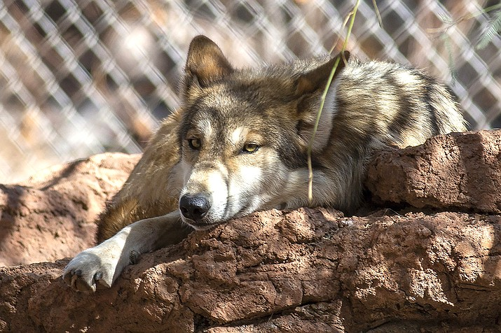 A female Mexican gray wolf rests in an enclosure at the zoo in Phoenix Feb. 4. One pack of Mexican gray wolves is now two, with three sisters remaining at the Phoenix Zoo while their two parents and three male offspring are now in Texas after being moved to the El Paso Zoo as part of a cooperative program to continue recovery of the endangered predators. (Phoenix Zoo via AP)