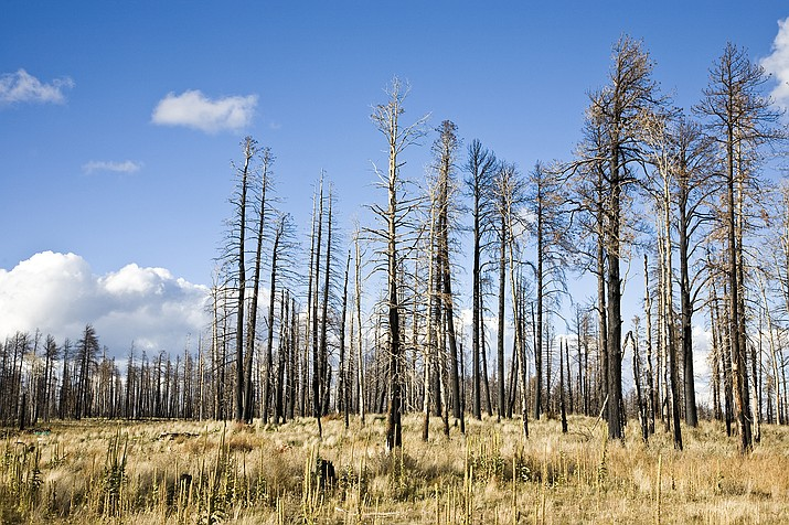 Remnants of a forest fire can be seen on the Kaibab National Forest. (Photo/Adobe Stock)