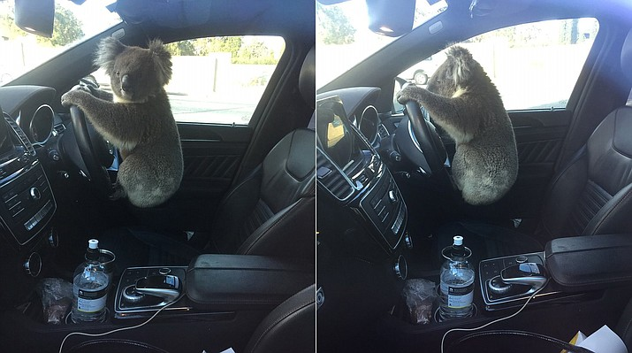 This photo set released by Nadia Tugwell, shows a koala inside Tugwell's car in Adelaide, Australia on Monday, Feb. 8, 2021. The koala has been rescued after causing a five-car pileup while trying to cross a six-lane freeway in southern Australia. (Nadia Tugwell via AP)