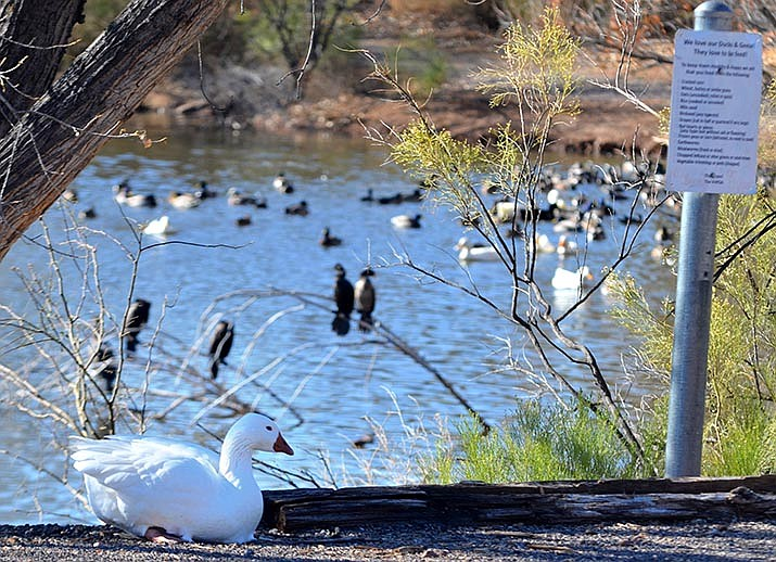 Geese and ducks living at the pond on East Del Rio Drive are fed by people who enjoy them. Verde Village Property Owners Association would like the public to stop bringing and dumping domesticated birds at the pond, as they cannot survive. VVN/Vyto Starinskas