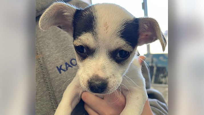Santa is one of the puppies up for adoption on Saturday, Feb. 20 at the Kingman PetSmart, 3260 Stockton Hill Road. (Photo courtesy of Friends of Mohave County Animal Shelter)