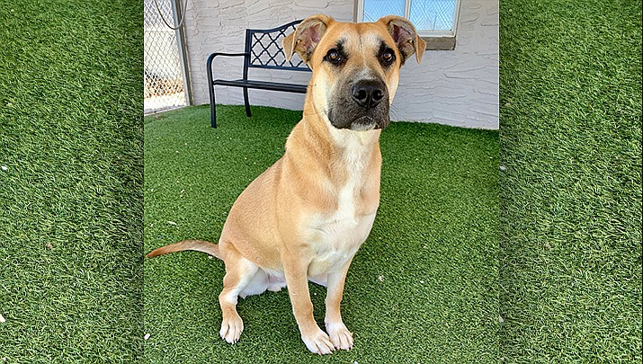Nick is sweet, loving, quiet, house trained, and good with other dogs. He would thrive in an active home where he can get the exercise he needs. If you would like to meet Nick, please call the shelter to set up an appointment. 928-636-4223, ext. 7. (Chino Valley Animal Shelter.)