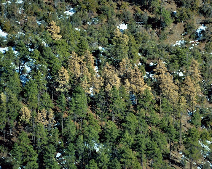 Prescott National Forest mortality of ponderosa pine is visible over the past few weeks in 2021. Trees are infested with bark beetles that are thriving during the drought.  (USDA Forest Service/Courtesy)