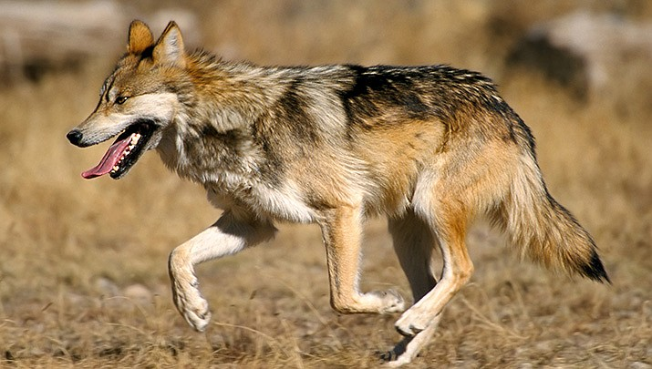 A survey of the endangered Mexican wolf population has shown an increase in the population in Arizona and New Mexico each of the past five years. (U.S. Fish and Wildlife Service photo/Public domain)