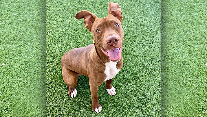 If you would like to meet Franklin, please call the Chino Valley Animal Shelter to set up an appointment at 928-636-4223, ext. 7. (Chino Valley Animal Shelter)