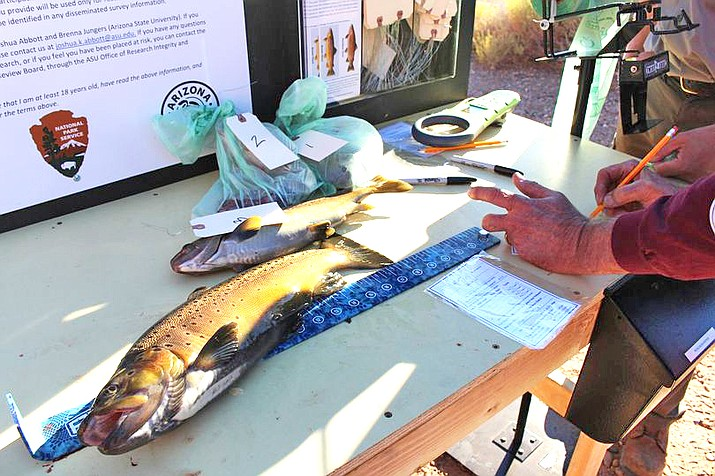 Incentivized harvest of brown trout on the Colorado River is being conducted to help thin the brown trout population. (Photo/NPS)