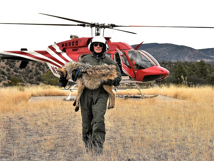 A member of the Mexican gray wolf recovery team carries a wolf captured during an annual census near Alpine, Arizona. Once on the verge of extinction, the rarest subspecies of the gray wolf in North America has seen its population nearly double over the last five years. U.S. wildlife managers said March 12, 2021, the latest survey shows there are now at least 186 Mexican gray wolves in the wild in New Mexico and Arizona. (Mark Davis, U.S. Fish and Wildlife Service via AP, File)