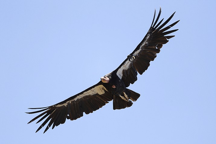 The endangered California condor could return to the Pacific Northwest for the first time in 100 years. The San Francisco Chronicle says the U.S. Fish and Wildlife Service plans to allow the release of captive-bred giant vultures into Redwood National Park as early as fall 2021. (AP Photo/Marcio Jose Sanchez, File)