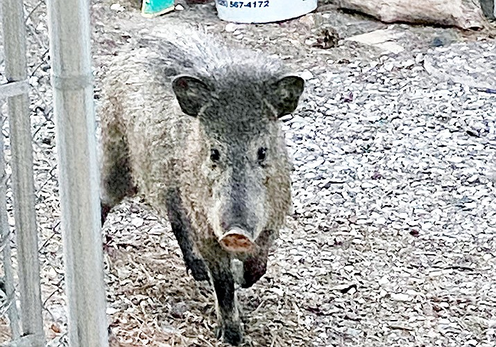 Because of the Verde Valley's extended drought, Cottonwood, Rimrock and Cornville residents have been reporting javelina in their yards. Photo courtesy Tommy Anderson