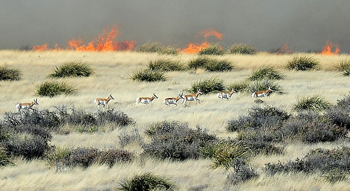 This 2019 file photo shows pronghorn running through the grasslands between Prescott and Prescott Valley while a wildfire burns north of Highway 89A. Gov. Doug Ducey declared this week through Saturday, April 3, 2021, to be Wildfire Awareness Week in Arizona to highlight wildfire prevention and preparedness and to encourage responsible fire management. (Courier file photo)