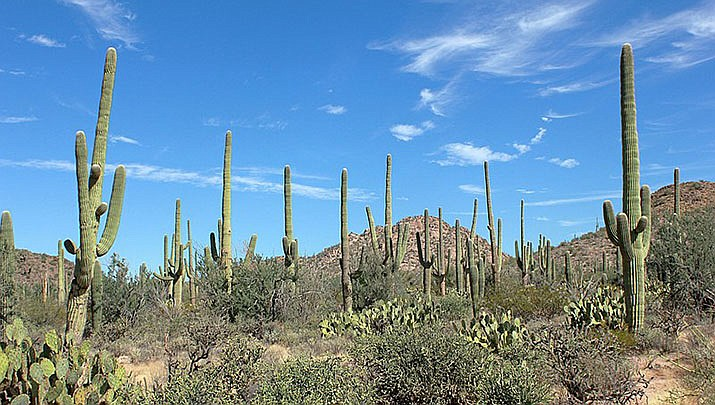 Experts report low saguaro cactus reproduction numbers at Saguaro National Park near Tucson, shown above. (Photo by AndrewKPepper, cc-by=sa=4.0, https://bit.ly/3umNBJ5)
