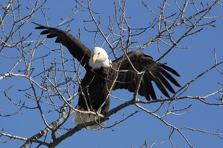 A bald eagle lands in a tree overlooking the Des Moines River in Des Moines, Iowa. The number of American bald eagles has quadrupled since 2009, with more than 300,000 birds soaring over the lower 48 states, government scientists said March 24 in a new report. (AP Photo/Charlie Neibergall, File)