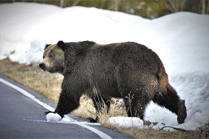 A grizzly bear just north of the National Elk Refuge in Grand Teton National Park, Wyoming. Grizzly bears are slowly expanding the turf they roam in the northern Rocky Mountains but scientists say they need continued protections. (Joe Lieb/USFWS via AP)