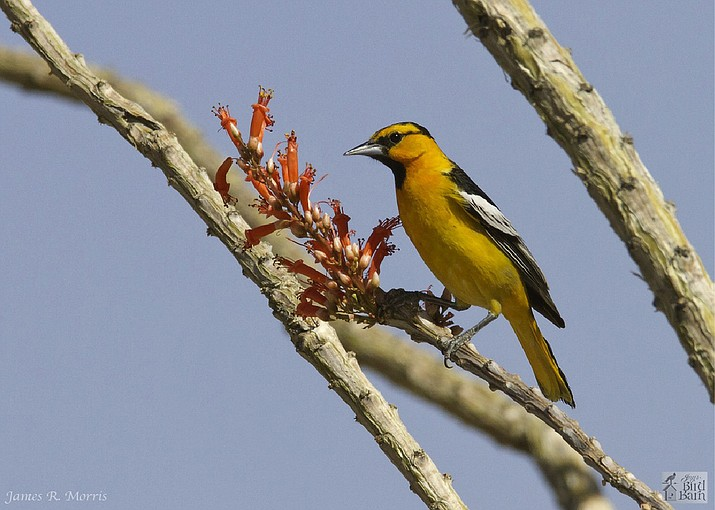 Orioles, such as the male Bullock's oriole are starting to show up in the Arizona Central Highlands. (Eric Moore/Courtesy)